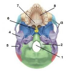 occipital condyle