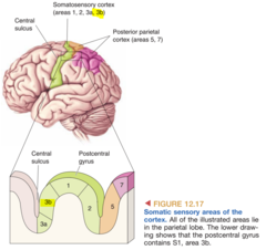 Area 3b as the Primary Somatic Sensory Cortex