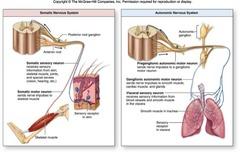 Autonomic motor neurons
