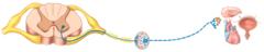 Autonomic motor pathway