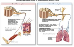 Anatomy Chapter 18 Autonomic Nervous System   Essay Example