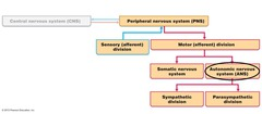 Autonomic Nervous System:  Autonomic motor neurons