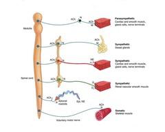 Autonomic Nervous System:  autonomic neurotransmitters