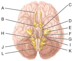 C) oculomotor nerve