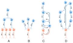 C) reverberating circuit