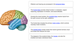 Complete each sentence describing the structures and functions of the cerebrum.