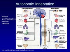 Describe, in general, the organization of the autonomic innervation in terms of Parasympathetic & Sympathetic