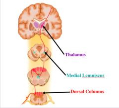 Dorsal column-medial lemniscal pathway (DCML)