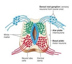 BIO 210 (Lecture Unit #4) Ch 12: The Central Nervous ...