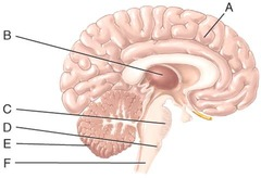 E) cerebellum