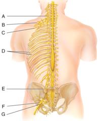E) femoral nerve