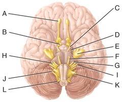 E) trigeminal nerve