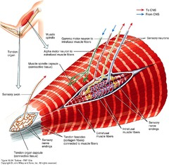 Example of Muscle Spindle and Tendon Organ