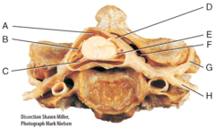G) posterior ramus
