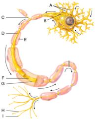 H) axon terminals