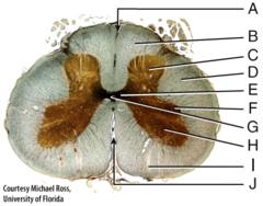 I) anterior white column