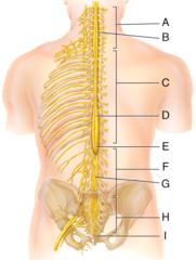 I) coccygeal nerves