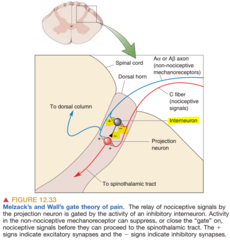 Interneuron of Gate Theory of Pain