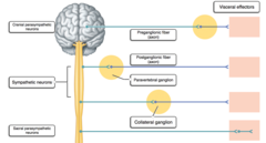 Label the general pattern of neurons and neurotransmitters associated with the autonomic nervous system.