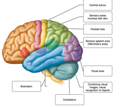 Label the indicated brain structures, cerebral lobes, and functional areas of the cerebral cortex.