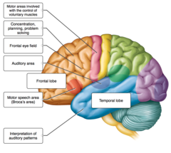 Label the indicated lobes of the cerebrum and the functional areas of the cerebral cortex.