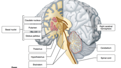 Label the internal structures of the cerebrum and other major parts of the brain.