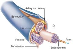 perineurium