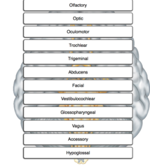 Place cranial nerves in numerical order, beginning with cranial nerve (CN) I.