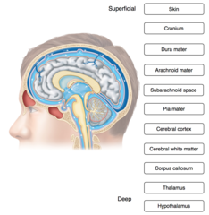 Place the following items associated with the brain in order from superficial to deep.