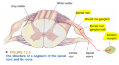 Primary Afferent Axons Entering the Spinal Cord