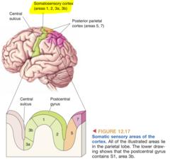 Primary Somatosensory Cortex (S1 = 3b)