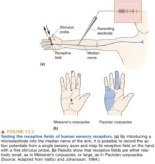 Receptive Field of Human Sensory Receptors