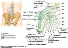 Sacral plexus (Coccygeal plexus)