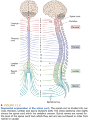 Segmental Organization of the Spinal Cord