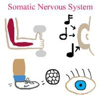 autonomic nervous system essay example Displaying featured nervous system diseases articles  schematic  representation of the autonomic nervous system, showing distribution of  sympathetic and.