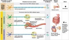 somatic motor neurons