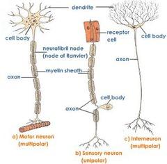 site of autonomic motor neuron cell bodies