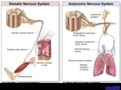 Essay on the Autonomic Nervous System | Vertebrates | Biology