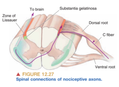 Spinal Connections of Nociceptive Axons