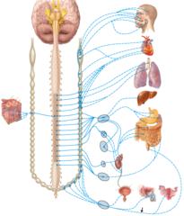 sympathetic postganglionic neurons.