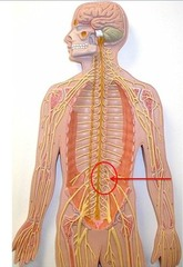 The cluster of nerves indicated on the figure is the ____ plexus.