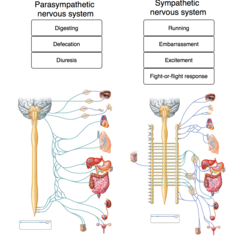 The labels list functions associated with one of the two branches of the autonomic nervous system. Drag and drop each label into the appropriate box, identifying which division of the autonomic nervous system is responsible for the given function.