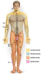 This figure shows a dermatome map. A patient with no sensation in the left thumb would probably have a nerve damaged in