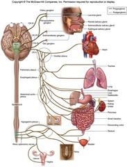 This figure shows a division of the autonomic nervous system. The label___ represents the Vagus Nerve (CNX).