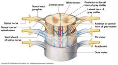 Vertebra cross section