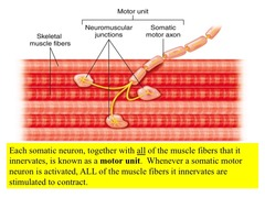 When a somatic motor neuron stimulates the muscle