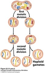 Which of these cells is (are) haploid? 1) C and D 2) A and D 3) B and C 4) D 5) B