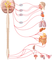 X vagus nerve